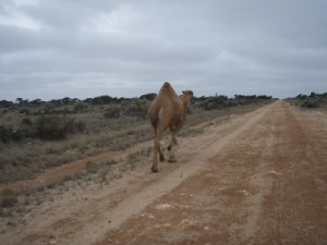 and of course some of the dromedaries roaming the deserts