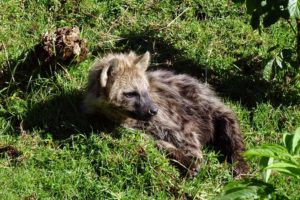 young hyena enjoying some sunshine