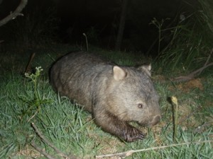 many wombats walking around the campsite