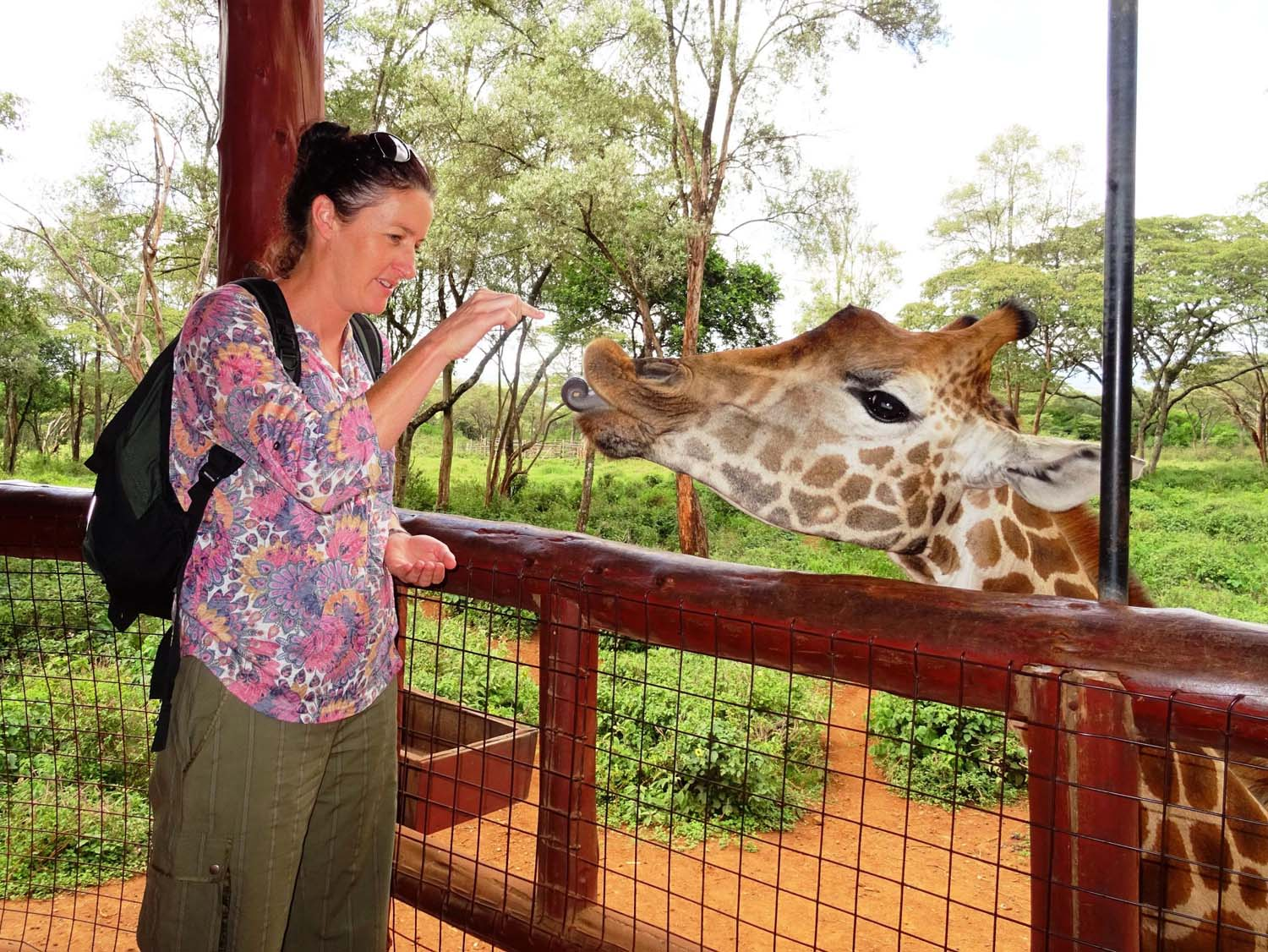 feeding the giraffes