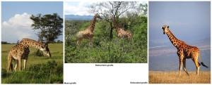 the 3 subspecies of giraffe found in Kenya - masai, rothschild's and reticulated. Which one do you think is the prettiest?