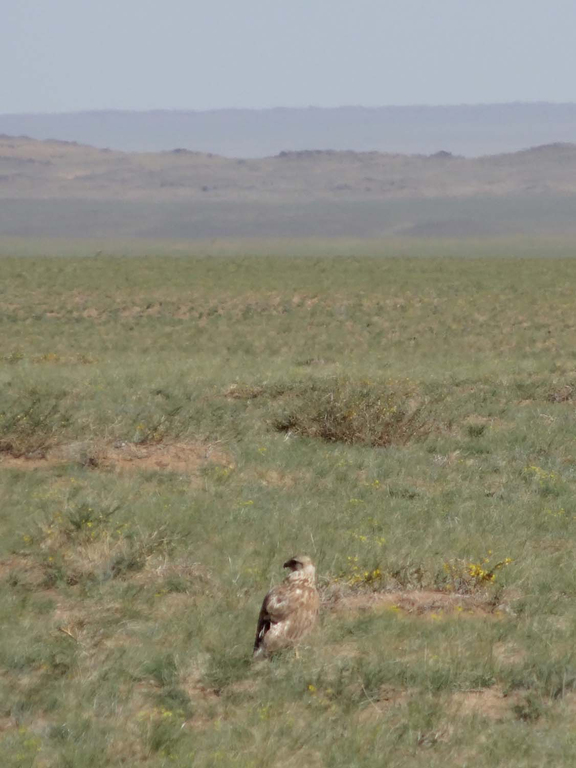 we see a lot of bird of prey in the Gobi