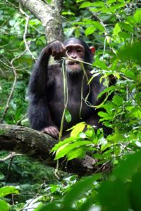 chimpanzees spend a lot of time eating