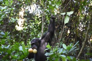 Fudge, the new alpha male, has found some large mabungo fruit to eat