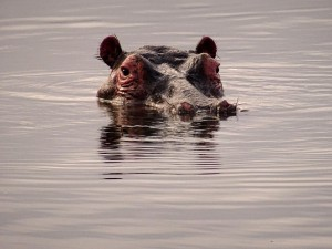 not much later this hippo checks out if the coast is clear to come out of the water