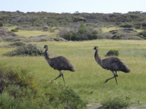 lots of emus