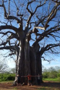 baobabs are huge in this part of the country!