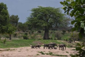 a family of elephants crosses the dry river bed in Ruaha NP