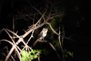 an African grass owl, a new bird for us and also for our (very experienced) guide!