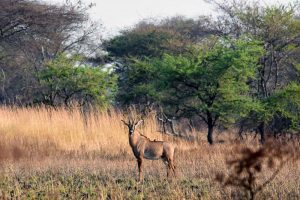 roan antelope, there are only a few places in Tanzania where you can find them