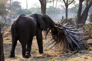 this elephant pushed over the palm tree and lifted it like it weighed nothing, he was after the moist and soft inside