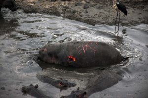 this is what happens when so many hippos live in a small, confined space when water is scarce, fights result in horrendous wounds