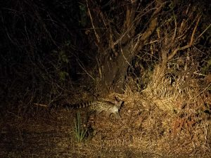 large-spotted genet hunting in Katavi NP