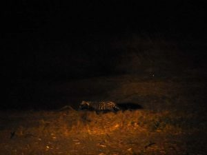 a beautiful African civet hunting along the river