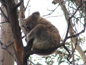 cute koala on the Great Ocean Road