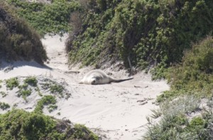 sea lion in the dunes