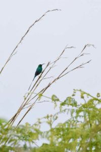 a new one for us, a malachite sunbird - very pretty