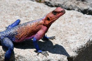 a colourful red-headed rock agama