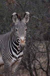 love the beautiful big ears from the Grévy's zebras