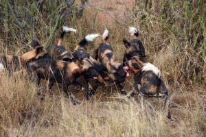 wild dogs with a bone (from a baby giraffe?)
