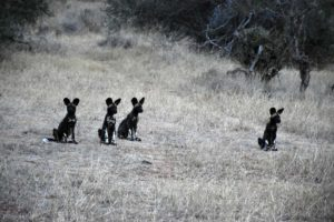 4 of the 6 pups were parked near our safari vehicle, we suspect the vehicle is considered a safe spot as the wild dogs are used to it