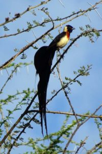 a new pretty bird for our list - eastern paradise-whydah