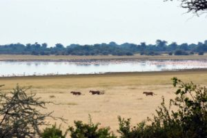 early morning lions out and about by the lake, we followed them to where the pride met up after a night's hunting