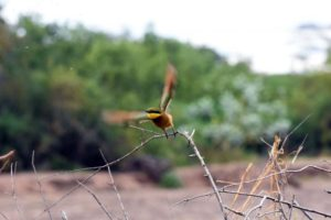 this little bee-eater is off to catch another fly or bee, you can see them in the photo if you look carefully
