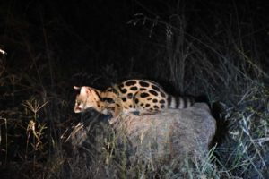 this large-spotted genet is hunting and is concentrating so hard it takes him a minute to realise a big car has stopped right next to him
