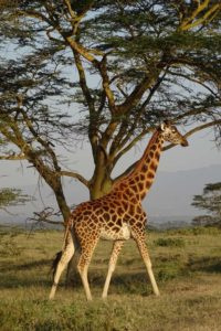 one of three giraffes found in Kenya, the Rothschild's giraffe