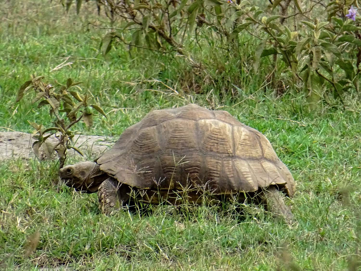 african leopard tortoise, lives up to 100 years