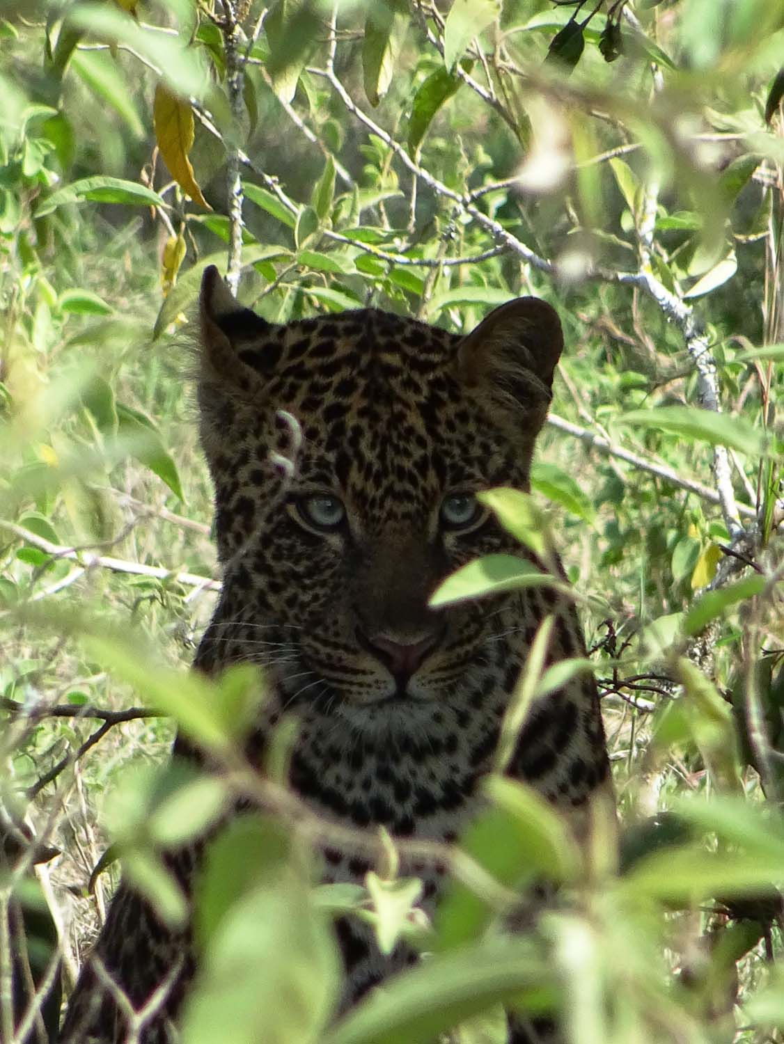 a beautiful leopard in Lake Nakuru NP