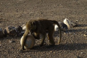 the baboon that hangs around the park entry gate enjoys playing with the soccer ball
