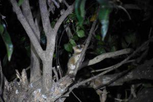 our first lemur! a golden brown mouse lemur, totally cute!