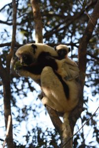 the next day we spot our first day-time lemurs, this is a coquerel's sifaka with baby