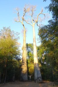 a couple of 600 year old dansonia suarezensis (or Suarez baobabs), one of 6 species of baobab endemic to Madagascar. These two are approximately 35m tall and are endangered. They think the fruit bat pollinates the tree, but they don't know which animal disperses the seeds.