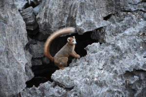 a crowned lemur emerges from the forest with his family and some brown lemurs to have a drink in a small cave in the dry river bed