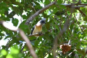 another endemic bird - the crested coua