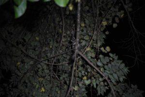the amber mountain fork-marked lemur (phaner electromontis)