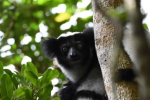 the indri, the singing lemur with its haunting voice. Quite impressive to hear!