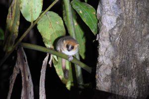a very cute goodman's mouse lemur