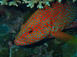 a coral grouper, we think he was asleep