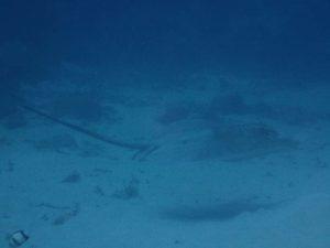 tahitian sting ray (we think)