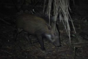 juvenile bushpig rummaging around in the leaves for fallen palmnuts around our banda (room)