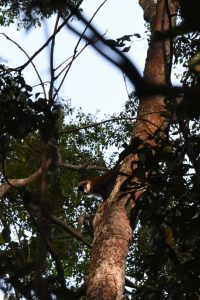 a curious red-tailed monkey peers down on us from high up the tree