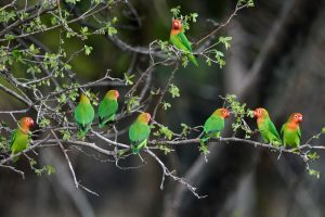 aren't they gorgeous? a flock of nyasa lovebirds were feeding in the grass and occasionally would fly back into the tree when an alarm was called