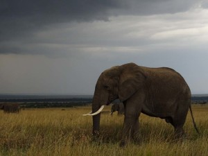 the majestic elephant - one of the big 5