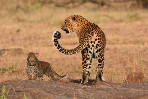 leopard and one of her 2 cubs (approximately 2 months old) - one of the big 5