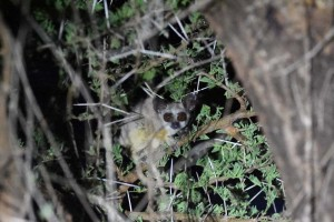bush baby, very easy to spot with a good torch, but very hard to properly see them as they are very fast and very agile...