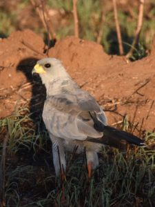 a beautiful eastern pale chanting goshawk in he early evening light. We thought he must be eating something as he was on the ground, but we couldn't really see what.